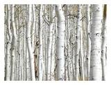 Birch Wood Kunst af  PhotoINC Studio