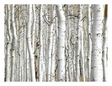 Birch Wood Arte por  PhotoINC Studio