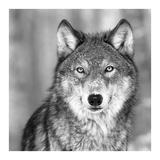 Wolf Schilderij van  PhotoINC Studio