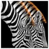 Zebras Grazing Plakat