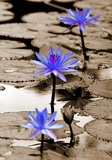 Pop of Color Lotus Flowers Prints by  Color Me Happy