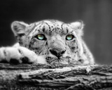 Pop of Color Snow Leopard Eyes Poster by  Color Me Happy