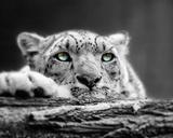 Pop of Color Snow Leopard Eyes Poster van  Color Me Happy