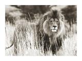 Male lion Giclée-tryk