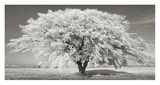 Lime tree with frost, Bavaria, Germany Giclée-Druck von Frank Krahmer