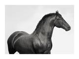 King Mamba, Stallion Lámina giclée por  Pangea Images