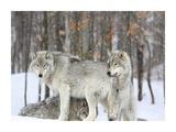 Grey wolves huddle together during a snowstorm, Quebec Gicléedruk