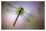 Green Dragonfly Giclee Print by Jimmy Hoffman