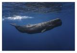 Sperm Whale Giclée-Druck von Barathieu Gabriel