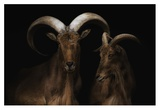 Mr. & Mrs. Goat Giclee Print by Pedro Jarque