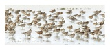 Bar-Tailed Godwit 19 Reproduction procédé giclée par Kurien Yohannan