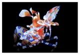Harlequin Shrimp Giclée-tryk af Barathieu Gabriel