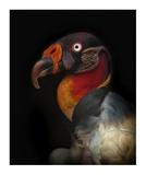King Vulture-Sarcoramphus Papa Reproduction procédé giclée par Ferdinando Valverde