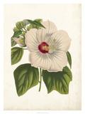 Striking Hibiscus Impressão giclée por  Van Houtteano