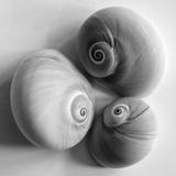Moon Sea Shell Giclee Print by John Harper