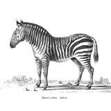 Vintage Zebra - Square Prints by  Lebens Art
