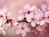 Kirschblüte Poster von  Grab My Art