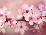 Cherry Blossom Posters av  Grab My Art