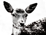 Deer Black And White Print by  Lebens Art