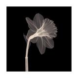 Veiled Blossom (Sepia) Photographic Print