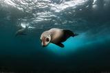Australian Fur Seal Posters
