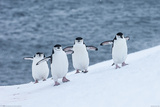 Chinstrap Penguins Posters
