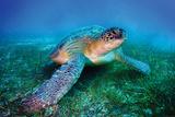 Loggerhead Sea Turtle Posters