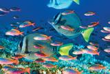 Yellow-Tailed Sturgeonfish Pósters