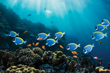 Surgeonfish & Goldies Bilder