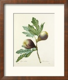 Figue violette: Ficus violacea