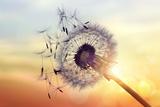 Dandelion Silhouette Against Sunset Fotografisk tryk af Brian Jackson