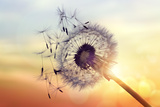 Dandelion Silhouette Against Sunset Photographic Print by Brian Jackson