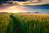 Beautiful Sunset, Field with Pathway to Sun, Green Wheat Fotografisk tryk af Oleg Saenco