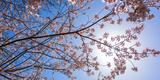 Sakura Blossom, Japan Reproduction photographique par  Bogomyako