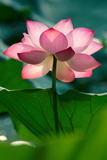 Lotus Flower in the Field Photographic Print by Hoang Nhiem