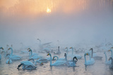 Swans Wintering Altai Krai Siberia Russia Impressão fotográfica por Pavel Filatov
