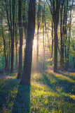 The Bluebells of Micheldever Woods Hampshire at Sunrise Photographic Print by Louis Neville