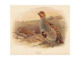 Partridge (Perdix cinerea), 1900, (1900) Reproduction procédé giclée par Charles Whymper