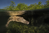 A Submerged American Crocodile, Crocodiles Acutus, Swims Above a Bed of Turtle Grass Reproduction photographique par David Doubilet