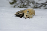 A Red Fox Slides on the Snow to Clean its Fur Off Fotografie-Druck von Barrett Hedges