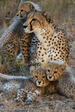 A Mother Cheetah and Her Cubs Rest Together in the Phinda Game Reserve 写真プリント : スティーブ・ウィンター