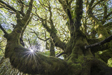 A Moss Covered Tree at Star Fish Point in Washington's Olympic National Park 写真プリント : Keith Ladzinski