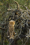 A Cheetah Cub Perches in a Tree Amid Thorny Branches Reproduction photographique par Steve Winter