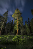 A Giant Sequoia Tree in the Old Growth Forest of California's Sequoia National Park 写真プリント : Keith Ladzinski