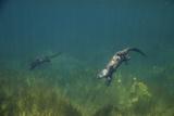 North American River Otters Swim in Ely Springs Fotografisk tryk af Charlie James