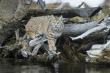 A Bobcat Walks on Driftwood to Get a Drink of Water Photographic Print by Barrett Hedges