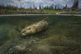 A Beaver Swimming at Schwabacher Landing in Grand Teton National Park Lámina fotográfica por Charlie James