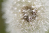 Dandelion Close Up Pósters