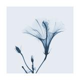 Hibiscus in Blue Prints by Albert Koetsier