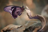 Swallowtail Photographic Print by Jimmy Hoffman